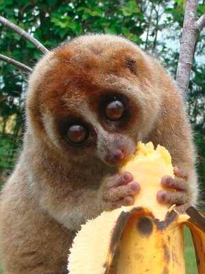 Slow loris pet banana