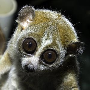 Slow loris pet eyes