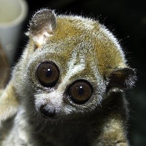 Slow loris pet eyes